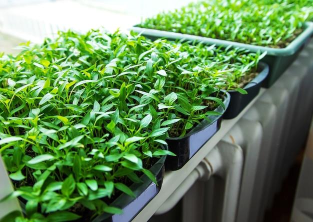 Les semis de poivre sur le rebord de la fenêtre