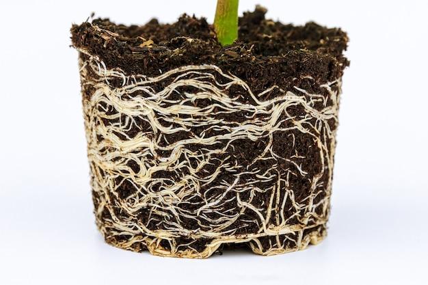Semis de poivron avec un système racinaire bien développé. racine et tige, feuilles de plants de poivrons.