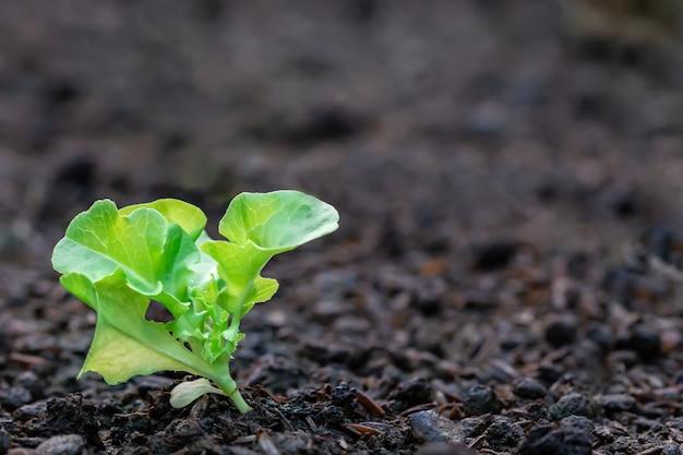 Semis de salade de légumes