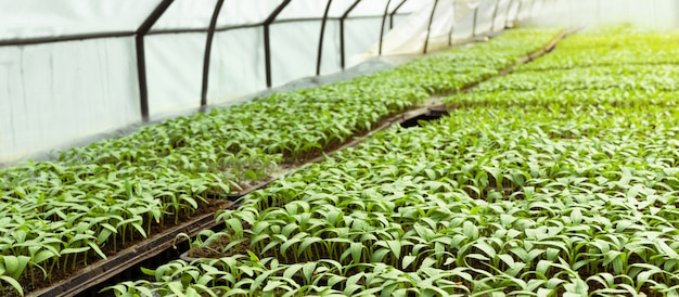 Semis de serre. mise au point sélective. petits plants d'aubergine en cassettes et tiroirs issus de graines. terrains agricoles, horticulture, environnement écologique biologique. bannière avec espace copie.
