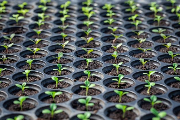 Les semis sont dans le bac de la pépinière