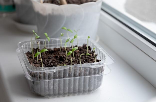 Semis de tomates dans un pot. semis. jeune plant de tomates. semis de tomates dans un pot. jardinage. faire pousser des tomates.