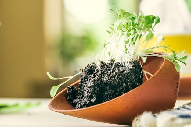 Semis vert poussant hors du sol