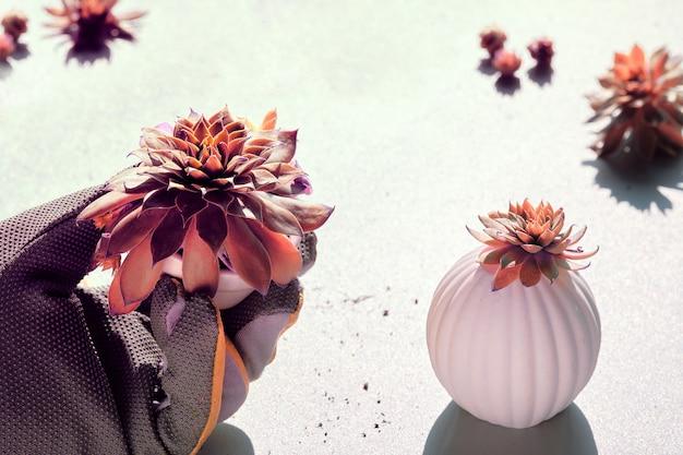 Sempervivum plante succulente en main gantée, forte lumière avec des ombres