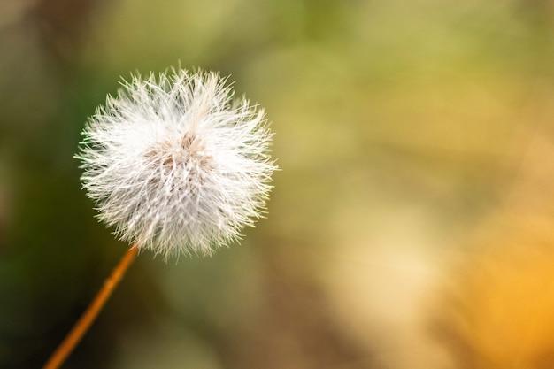 Senecio vulgaris, séneçon ou plante à fleurs en vieil homme au printemps.