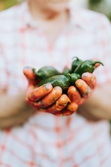 Senior femme tenant des poivrons jalapeno biologiques de son propre jardin