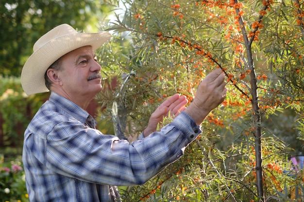 Senior homme hispanique au chapeau debout dans son jardin près de l'argousier et la collecte des baies.