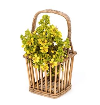 Senna siamea, fleurs de branche et feuilles isolées sur une surface blanche.