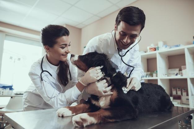 Sennenhund lèche le docteur visage vétérinaire vérifie le coeur de chien