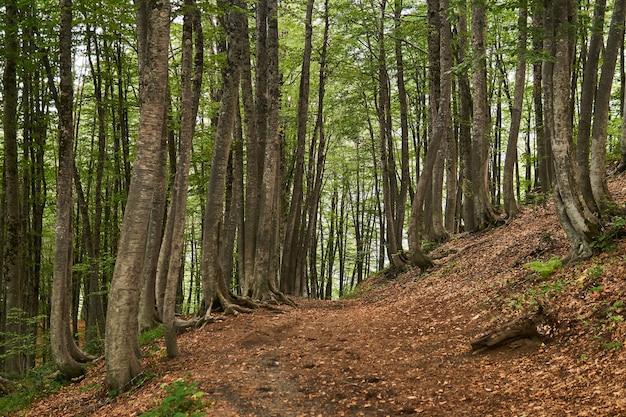 Sentier le long de la pente dans la forêt de hêtres de montagne