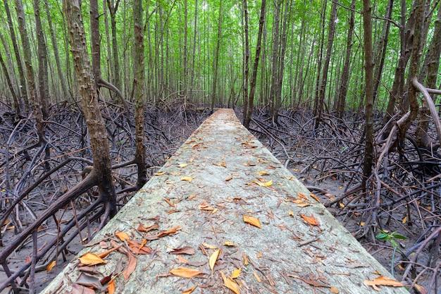 Sentier pédestre dans la forêt de mangroves