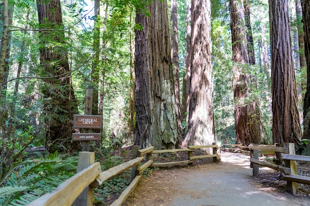 Sentiers de randonnée à travers des séquoias géants dans la forêt de muir près de san francisco