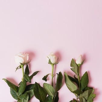 Séquences de roses blanches en fleurs sur fond rose