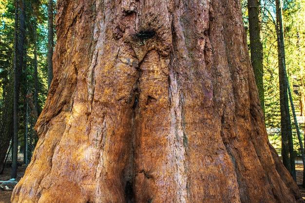 Sequoia bark closeup