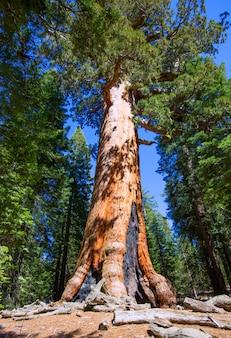 Séquoias dans le bosquet de mariposa du parc national de yosemite
