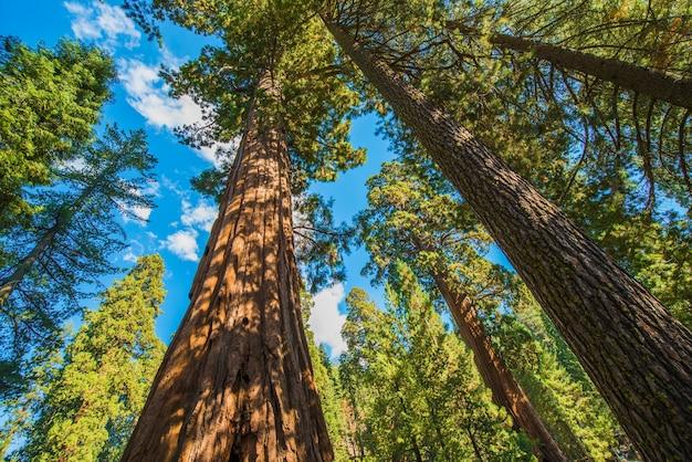 Séquoias géantes