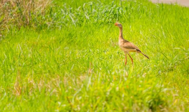 Seriema, un oiseau brésilien typique. oiseau aux longues oreilles et aux longues jambes. photo avec légumes verts