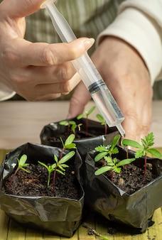 Seringue avec une préparation pour la fertilisation des microgreens dans les mains des femmes