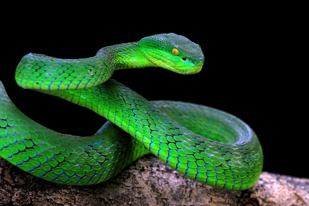 Serpent albolaris vert sur fond noir