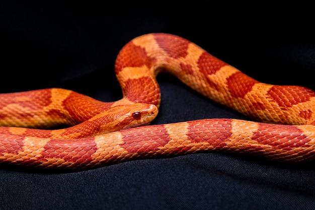 Le serpent des blés (pantherophis guttatus) est une espèce nord-américaine de couleuvre obscure qui soumet ses petites proies par constriction.