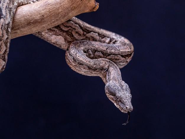 Serpent boa sur une branche