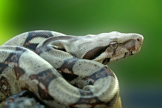 Serpent boa constrictor attendant de la nourriture