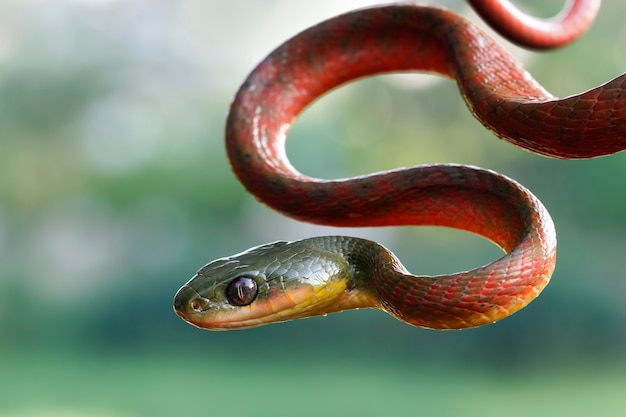 Serpent boiga rouge sur fond flou