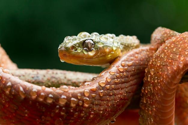 Serpent boiga rouge