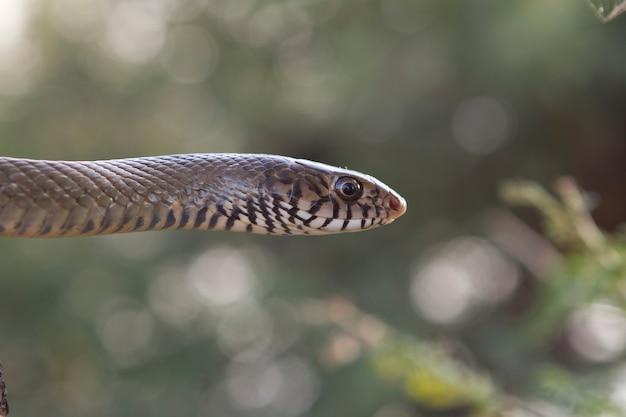 Serpent brun de l'est