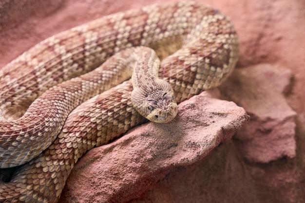 Un serpent brun roulé sur une pierre
