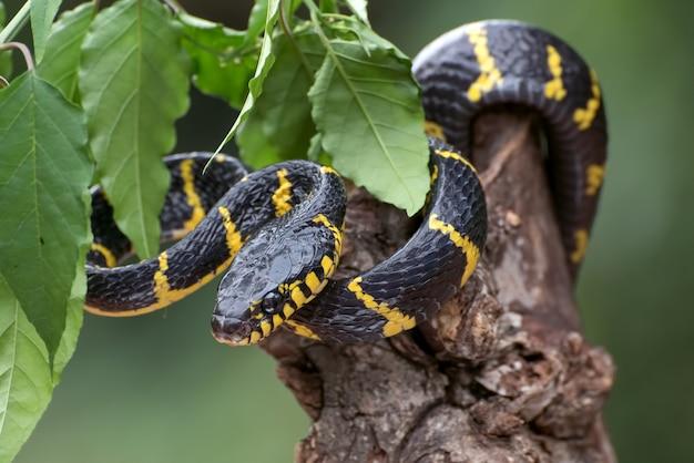 Serpent chat annelé d'or enroulé autour d'une branche d'arbre