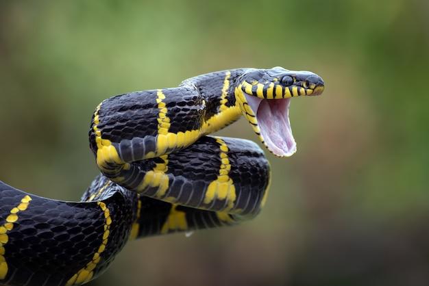 Le serpent chat aux anneaux d'or (boiga dendrophilia)