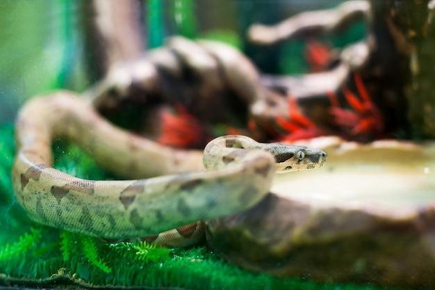 Serpent dans le terrarium. zoo de contact