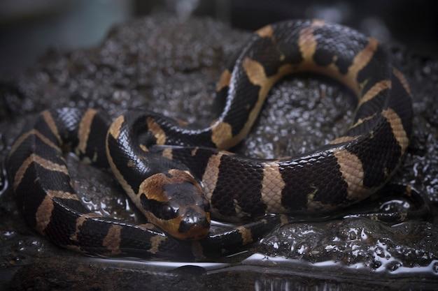 Serpent d'eau à face bouffante commune