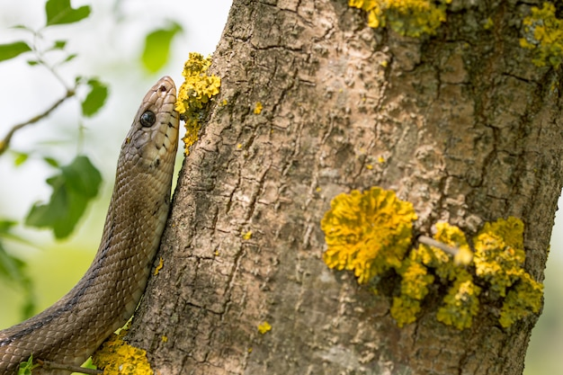 Serpent échelle (zamenis scalaris) dans l'arbre
