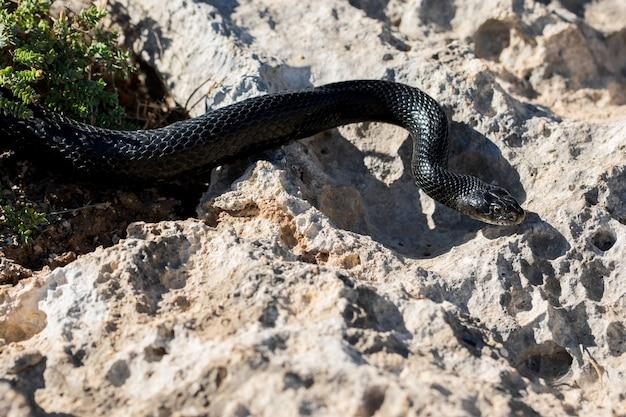 Serpent fouet de l'ouest noir, hierophis viridiflavus, glissant sur les rochers et la végétation sèche à malte