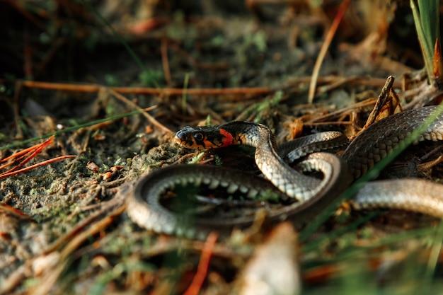 Le serpent d'herbe, parfois appelé un serpent d'eau, se cache dans l'herbe