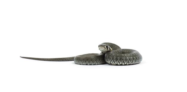 Serpent isolé sur fond blanc