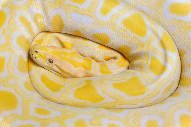 Serpent jaune python doré couché fond de texture