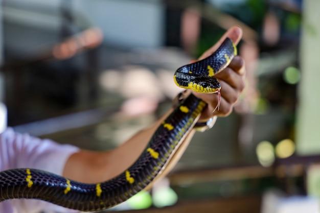 Le serpent krait montre la langue sur la main de l'homme d'asie