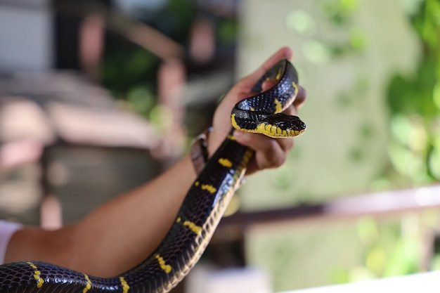 Le serpent krait à portée de main en thaïlande