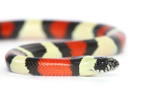 Serpent de lait pueblan