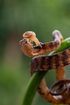Serpent de limace caréné bandend avec limace sur la tête