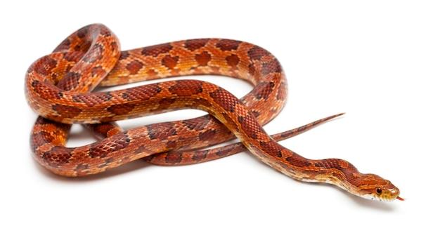 Serpent de maïs classique ou serpent de rat rouge pantherophis guttatus isolé