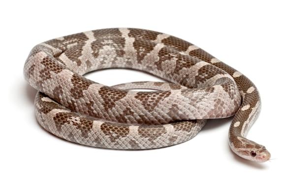 Serpent de maïs lavande ou serpent de rat rouge pantherophis guttatus isolé