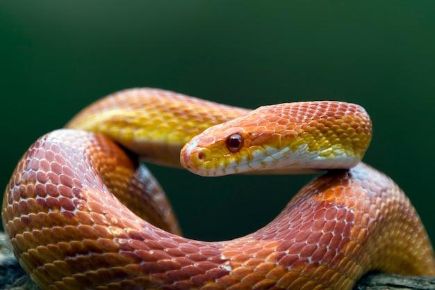 Serpent De Maïs Rouge Sur La Branche Photo Premium