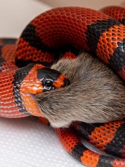 Serpent mangeant un rat abattu dans le laboratoire.