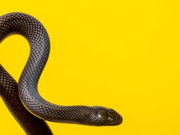 Le serpent noir du mexique (lampropeltis getula nigrita) fait partie de la plus grande famille colubride des serpents et une sous-espèce du serpent royal.