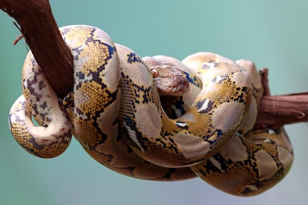 Serpent pythonidae dormant sur la branche libre