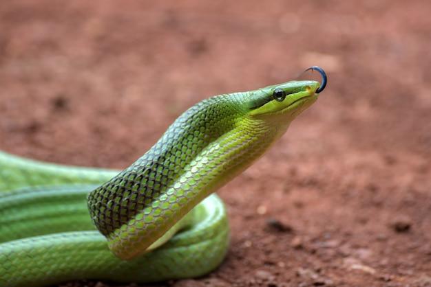 Le serpent rat arboricole en position défensive